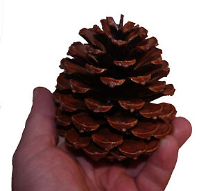 10 natural pine cones professional quality natural fir pinecones