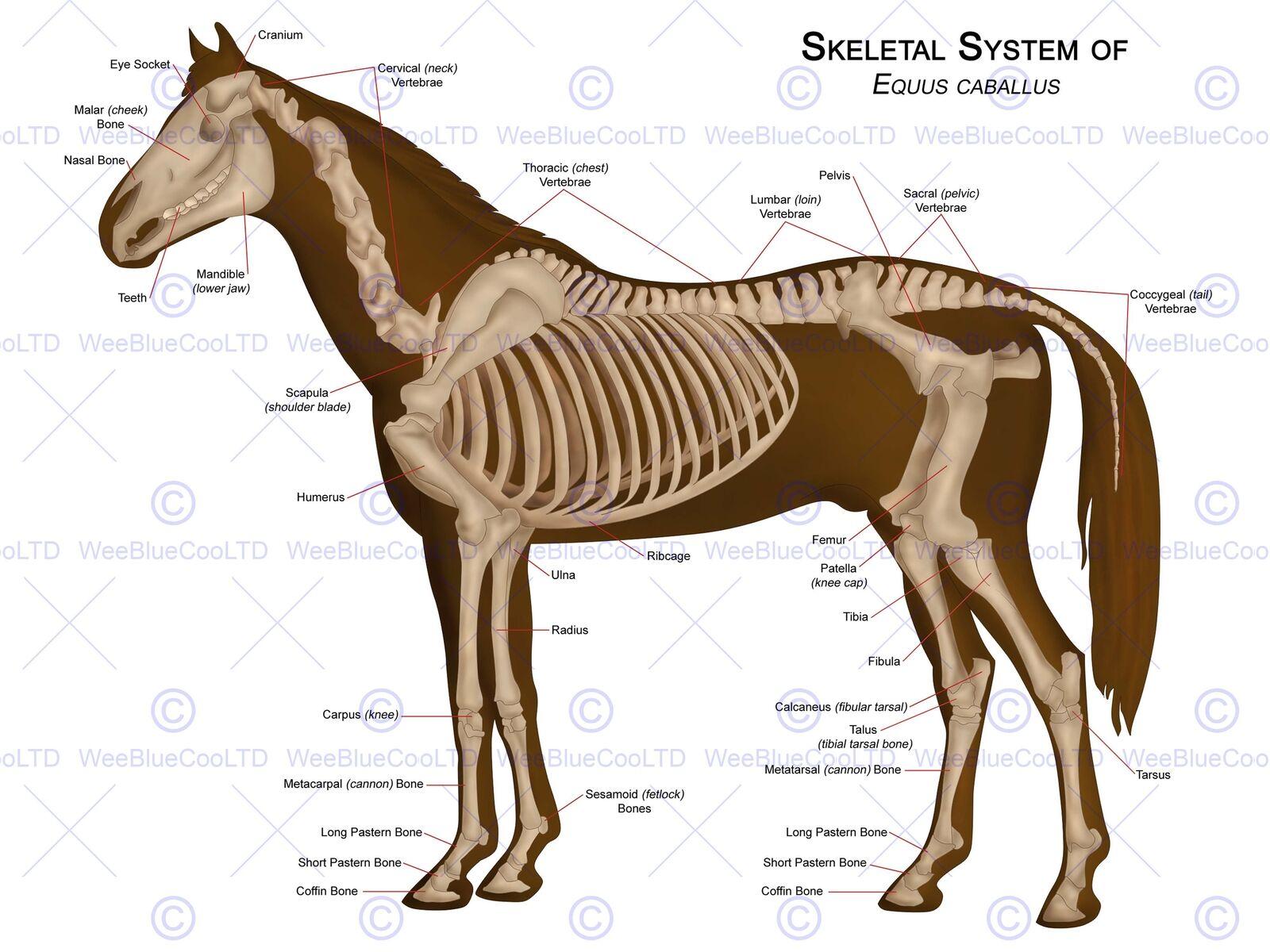 Animals Skeleton Bones Horse Anatomy 12 X 16 Inch Art Print Poster