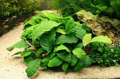 Anubias coffeefolia - Live Aquarium/Fish Tank Plant