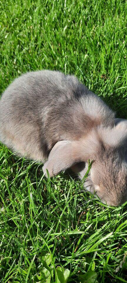 Kanin, Dværgvedder satin, 0 år
