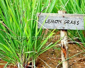 HERB-LEMON-GRASS-300-SEEDS-Cymbopogon-flexuosus