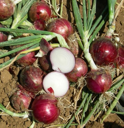 the real tasty 2000 seeds Onion Long Tropea Red Tropea round