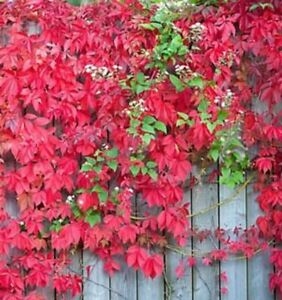 3 Virginia Creeper Plant Perennial Live Rooted Cuttings Ground Cover Hardy Vines Ebay,White Cloud Mountain Minnow Fry