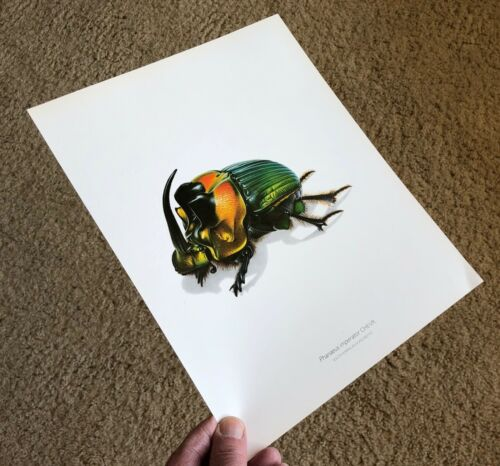 Durin Print DUNG SCARAB BEETLE Phanaeus imperator SINGLE-SIDED PLATE Gorgeous!