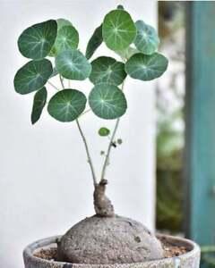 1 large 7 cm  bulb Stephania erecta Craib Buabok Free pot and small stone rare