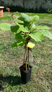 kiwi actinidia deliciosa 39 jenny 39 winterhart selbstfruchtend 80 cm ebay. Black Bedroom Furniture Sets. Home Design Ideas