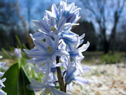 50 PUSCHKINIA LIBANOTICA BULBS /'Russian Snowdrop/' Spring Flowering Garden Plants