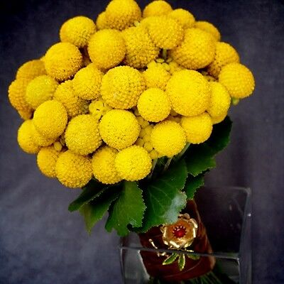20 Yellow BILLY BUTTONS / WOLYHEADS Craspedia Globosa Flower Seeds *Comb S/H