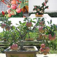 20 Pcs Mini Apple Fruit Bonsai Seeds Apple Bonsai Fresh Exotic Tree Samen