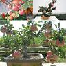 20 Pcs Mini Apple Fruit Bonsai Seeds Apple Bonsai Fresh Exotic Tree Seeds