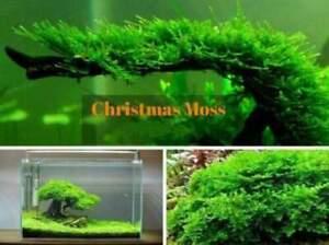 Details about Java Moss On Mesh Riccia Fluitan Carpeting Live Aquatic Plant  Shrimp Aquarium UK