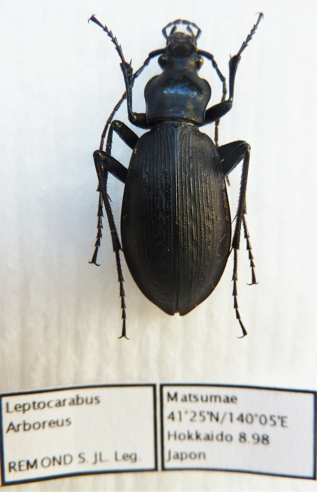 Carabus leptocarabus arboreus (female A1) from JAPAN (Carabidae)