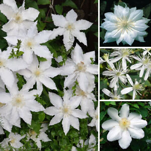 3-X-CLEMATIS-WHITE-COLOURED-LARGE-FLOWERING-CLIMBER-HARDY-PLANT-IN-POT