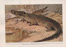 1911 NATURAL HISTORY DOUBLE SIDED PRINT ~ NILE CROCODILE / WALL-LIZARDS