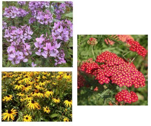 jaune HIRTA Mouton Garbe araignées Fleur 3 FLEURS variétés en économies