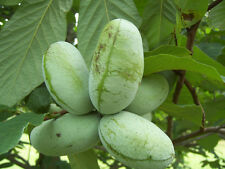 Paw Paw Tree – Asimina triloba Starter Tree Permaculture Fruit-Bearing Tree!