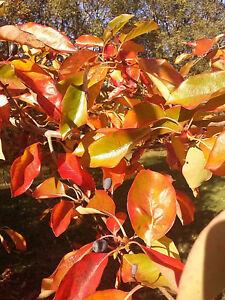 hardy-tree-Black-Tupelo-or-Blackgum-NYSSA-SYLVATICA-Autumn-colours-ornamental