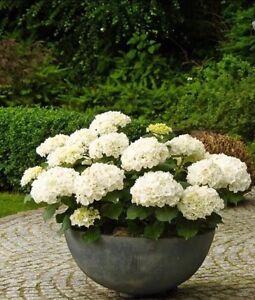 20Pcs-Perennial-Seeds-Home-Garden-White-Hydrangea-Seeds-Easy-to-Grow-Flower-DIY