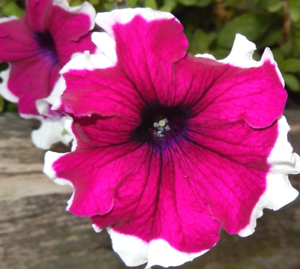 Pink picotee petunia large flowers edged white planters hanging image is loading pink picotee petunia large flowers edged white planters mightylinksfo