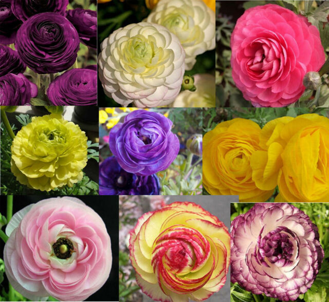 100 seeds of Bonsai Ranunculus asiaticus Flower Persian Buttercup