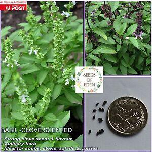 BASIL-CLOVE-SCENTED-SEEDS-Ocimum-Basilicum-Spicy-flavour-herb
