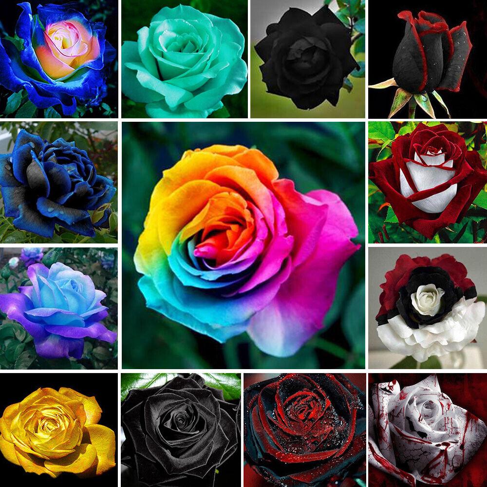 - 100 Holland Rose Flower Seed Orange Green Rainbow Rare Color