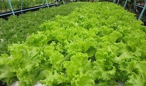 2-700SEED-LACTUCA-SATAIVA-VEGETABLE-GREEN-LETTURE-ORGANIC-SEEDS-NEW