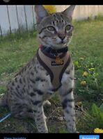 Lost Cat Lost Found Animals In Edmonton Area Kijiji Classifieds