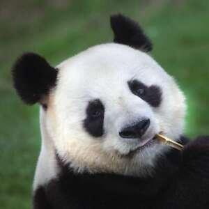 20-Serviettes-Grand-Panda-Ours-Panda-Portrait-Avec-Bambou-Hanae-33x33-CM