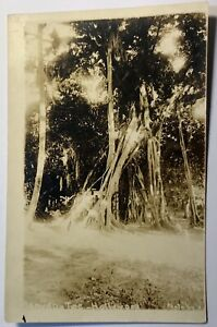 Vintage 1950 Hollywood CA Banyan Tree RPPC Real Picture Postcard California