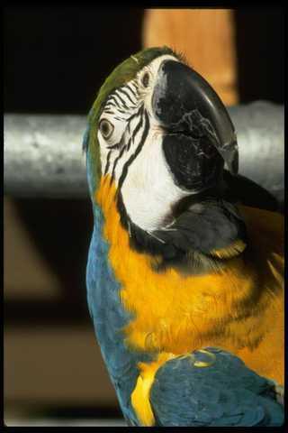 008003 Blue Gold Macaw Frontal A4 Photo Print Chinesische Aromen Besitzen