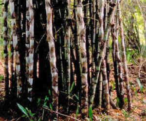 5 Samen Roter Bambus ´Red Panda ´ der Blickfang im Garten Winterhart