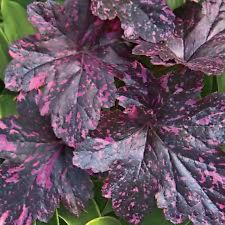 HEUCHERA 'Midnight Rose' Oscuro Borgoña Moteado Rosa Follaje-planta De Enchufe