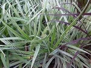 Liriope Muscari Aztec Grass 6 Plants 2 Pot Liners Zone 7
