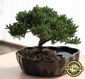 Zen Juniper Bonsai Tree Little Garden Live Japanese Pot Indoor ...