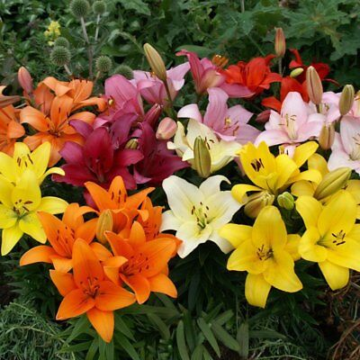 Perennial Pack of 3 Bulbs Zones 3-8 3 Lily Bulbs-Asiatic Lily /'Gran Paradiso/'