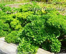 PARSLEY CURLED - Petroselinum crispum 3000 SEEDS - HERB - home growing all year