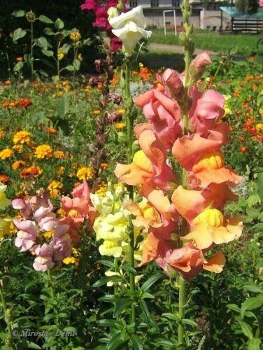 Antirrhinum majus Maximum Seeds Snapdragon Mixed Colors