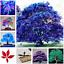 30 Pcs Graines Bonsai Bleu Maple TREE PLANT RARE Ciel Japonais Plantes Neuf 2018 X