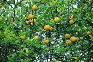 Poncirus-trifoliata-1-plant-en-godet