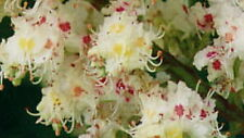Horse Chestnut tree buckeye nut family Hardy Unusual flowering tree