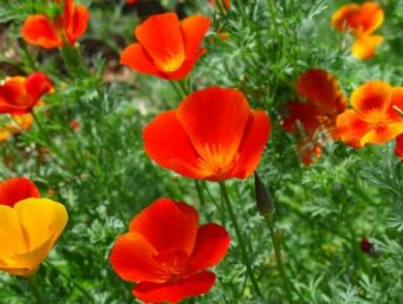 Mikado California Poppy Flower 100 Fresh Seeds Usa Ebay