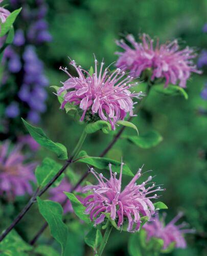 UK Seller WILD Bergamot  Herb Seeds FREE P/&P