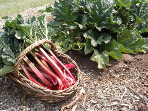 RHUBARB Rheum undulatum  Heirloom Organic Seeds