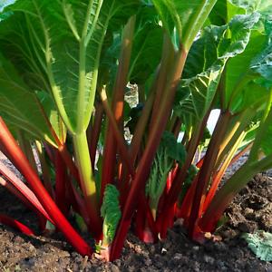 English-Garden-RHUBARB-GLASKINS-PERPETUAL-Hardy-Perennial-Heritage-70-Seeds