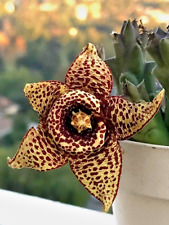Succulent Cactus Live Plant Matucana Aurantiaca Bux 9cm Garden Lovely Plants