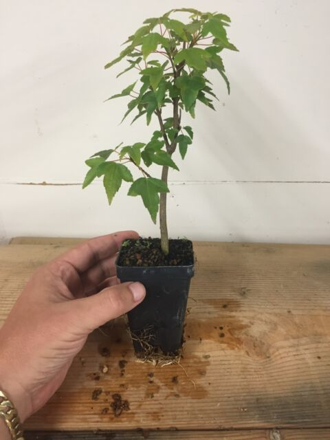 Trident Maple Acer Buergerianum Pre Bonsai Seedling Stock 2 14