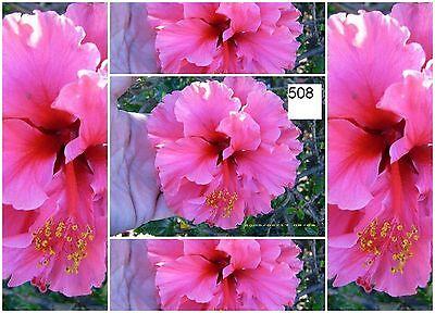 8 graines d'HIBISCUS DECORATIF ET EXOTIQUE AUX FLEURS ROSE - TOMATES PIMENTS