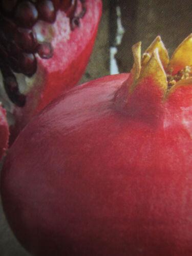 Granatapfelbaum Pflanze 150-170cm Frost Punica granatum /'Soft Seed 3/'® 12°