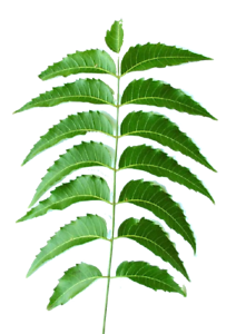 INDIAN-NEEM-LEAVES-30-CT-STEMS-FRESH-PICKED-BY-ORDER-NEEM-PATRA-LEAF